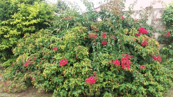 The bougainvillea dominates the multi-coloured evening flowers