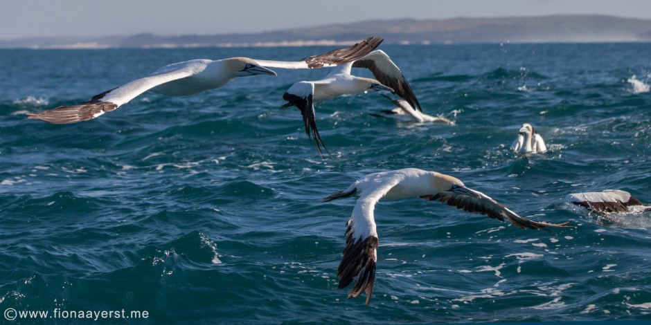cape gannets.jpg