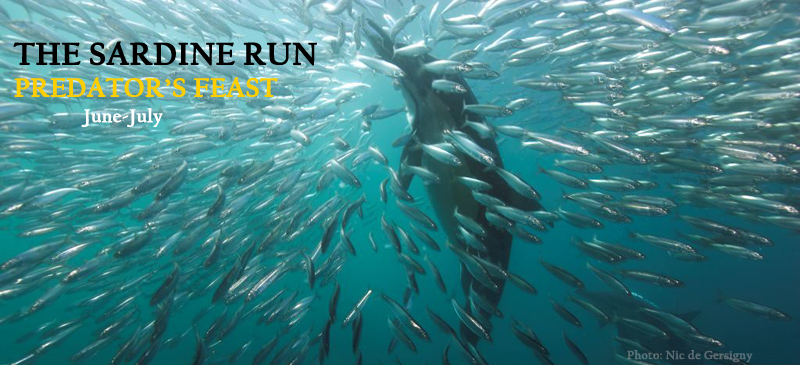 sardine-run_pic