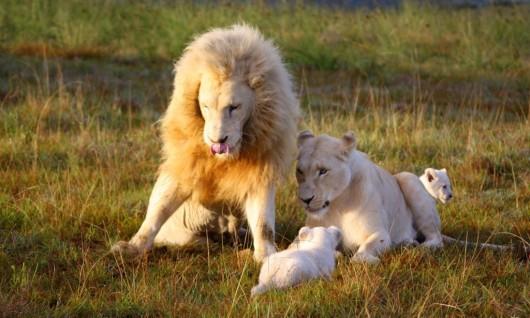 pumba-white-lions-1024x615.jpg